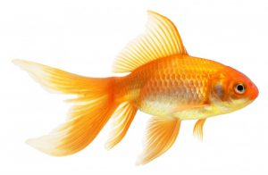 Goldfish Food That Doesn't Cloud Water